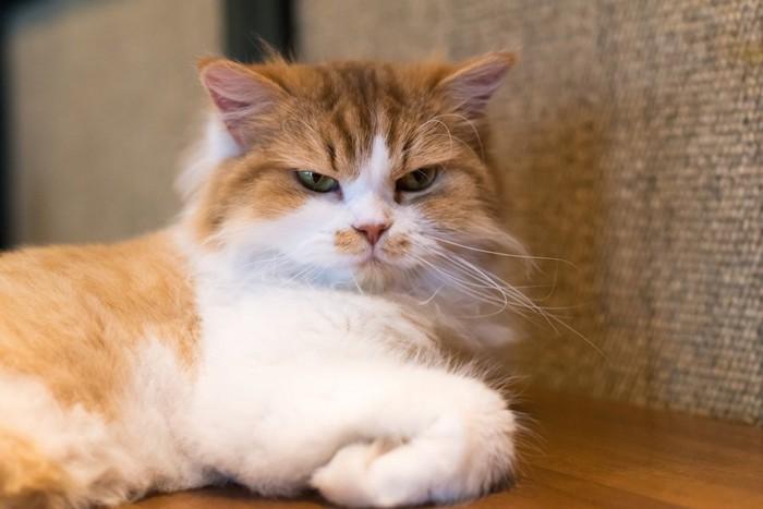 不機嫌な表情でこちらを見つめる長毛猫