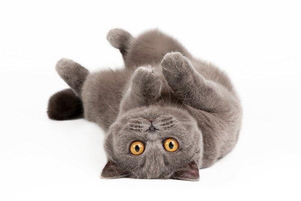 寝転がるブリティッシュ猫
