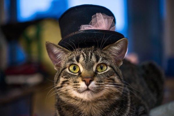 帽子をかぶるキジ猫
