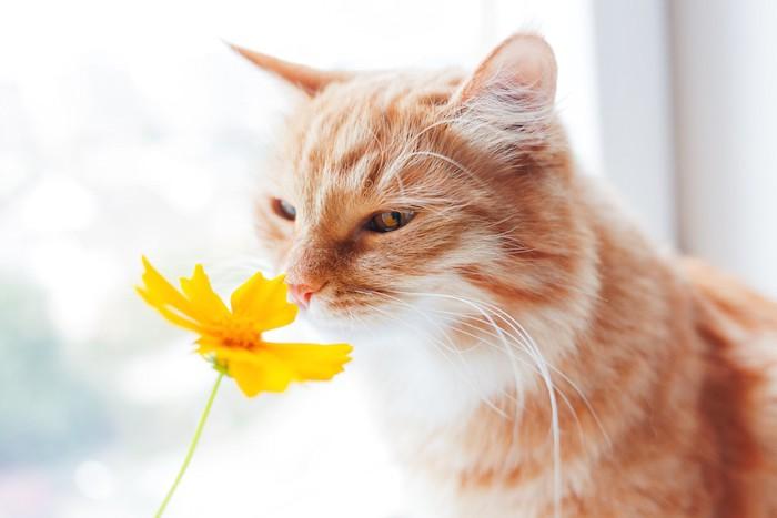 黄色い花の臭いを嗅ぐ猫