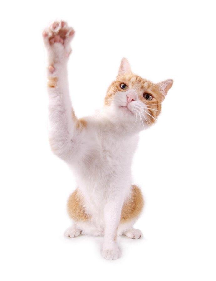 座って片手を上げる猫