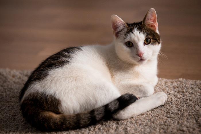 カーペットの上で伏せている猫