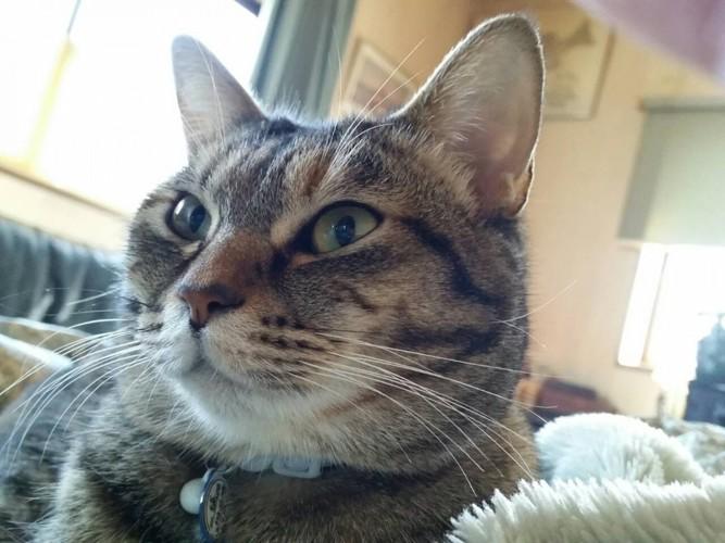 先輩猫シマ♀3才