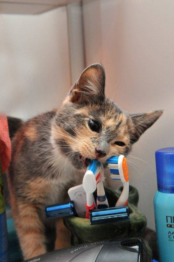 歯ブラシを噛む三毛猫