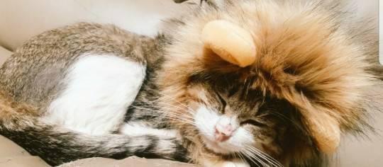 ライオンの帽子をかぶる猫
