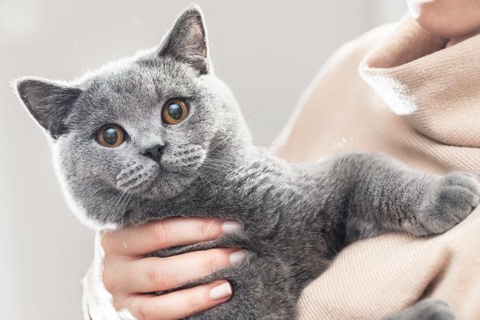 抱っこをされている灰色のブリティッシュショートヘア