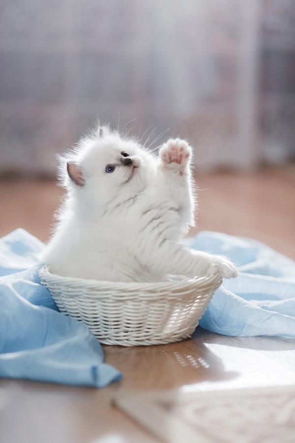 かごに入るラグドールの子猫