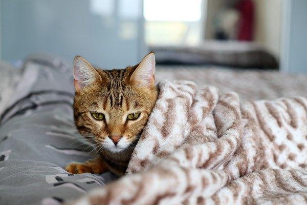 布団に入るキジ猫
