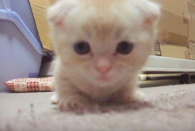 マンチカンの子猫の顔のアップ