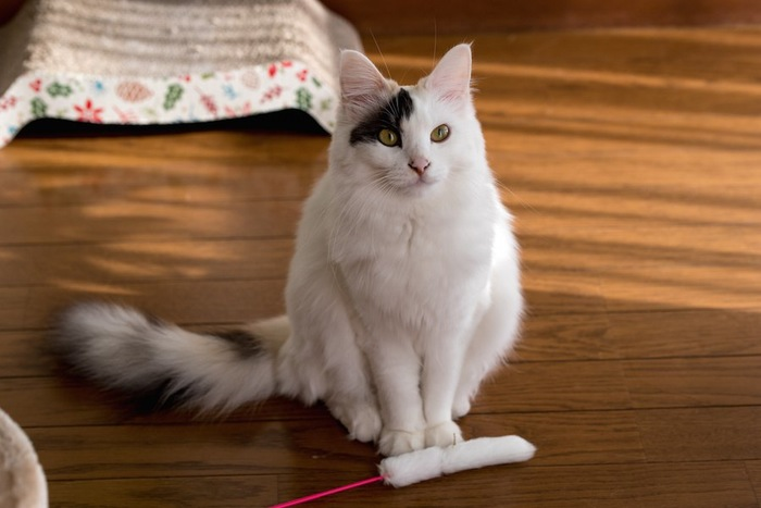おもちゃの前で座って待つ猫