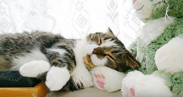ぬいぐるみを枕にして眠る猫