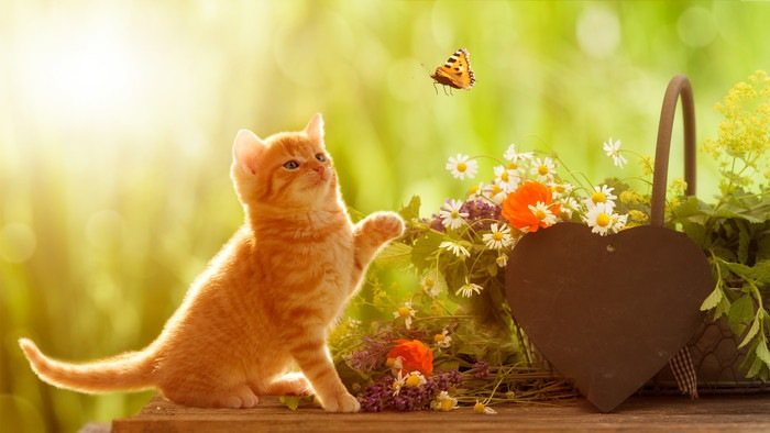 茶とらの子猫が蝶を追いかける