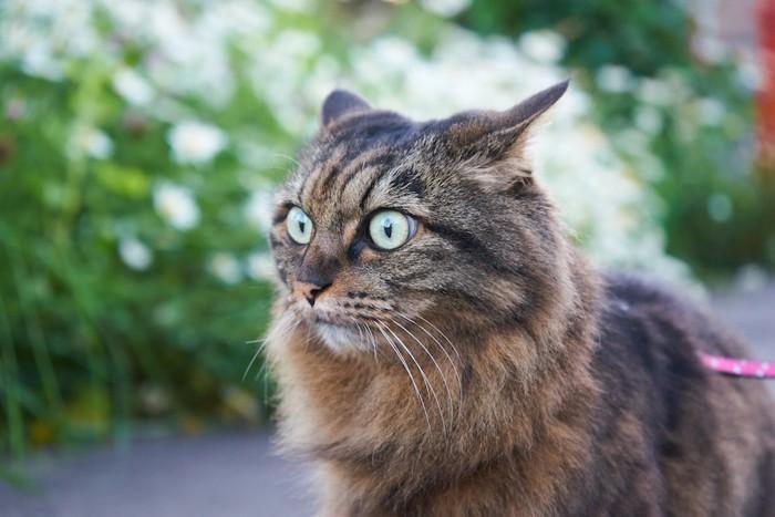 驚いて耳を後ろに倒す猫