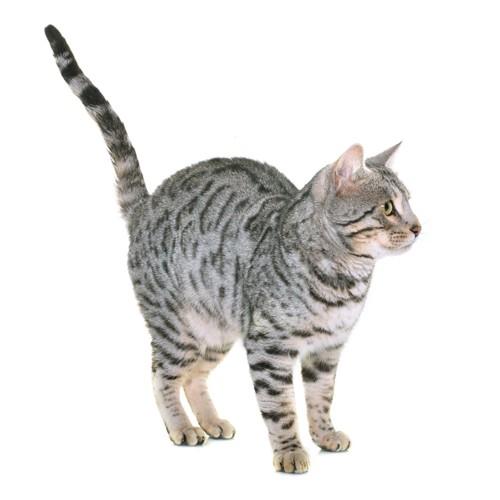 尻尾をピンと立てる猫