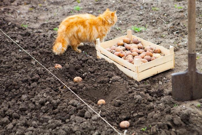 畑にいる猫とじゃがいも
