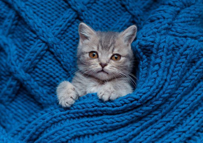 セーターとアメリカンショートヘア子猫