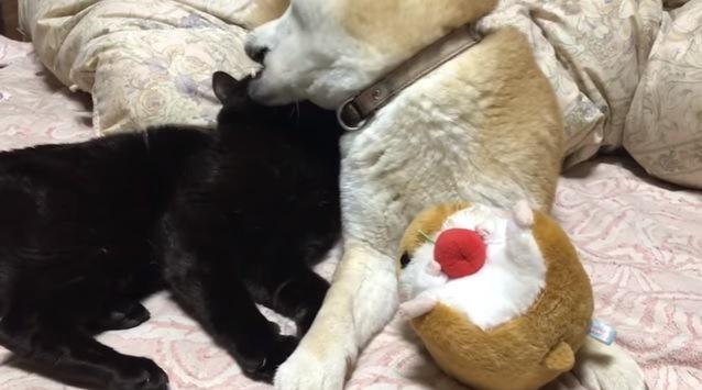 猫の頭を甘噛みする犬