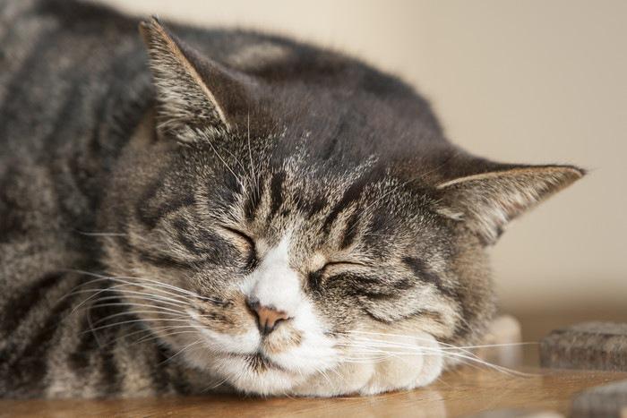 寝るキジトラ