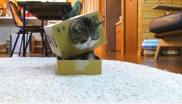 箱を着て箱に入る猫