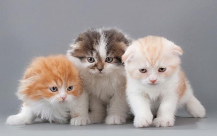3匹スコティッシュフォールドの子猫たち