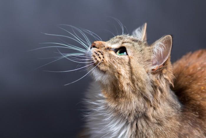 上を見上げるイメージ通りの猫の横顔アップ