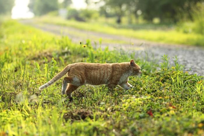 草むらを歩く野良猫