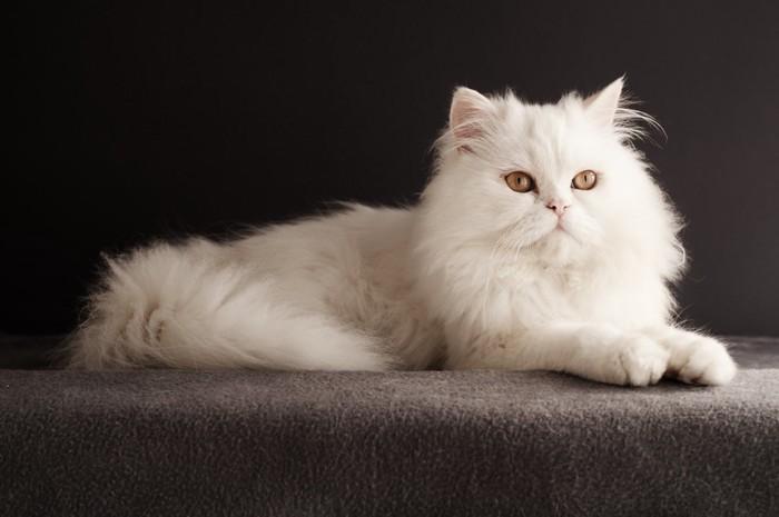 コージャスな白猫