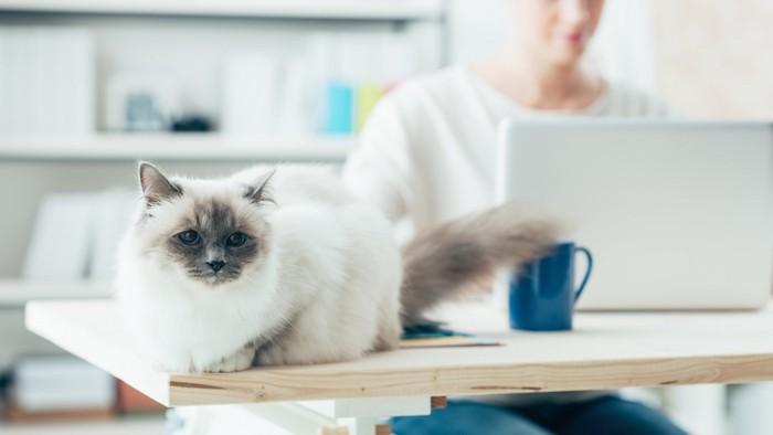 テーブルの上の猫とパソコン作業をする飼い主