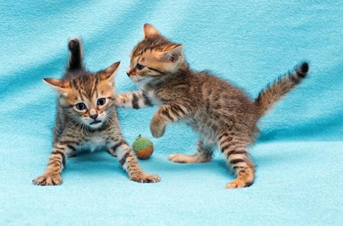 ベンガル猫の多頭飼い
