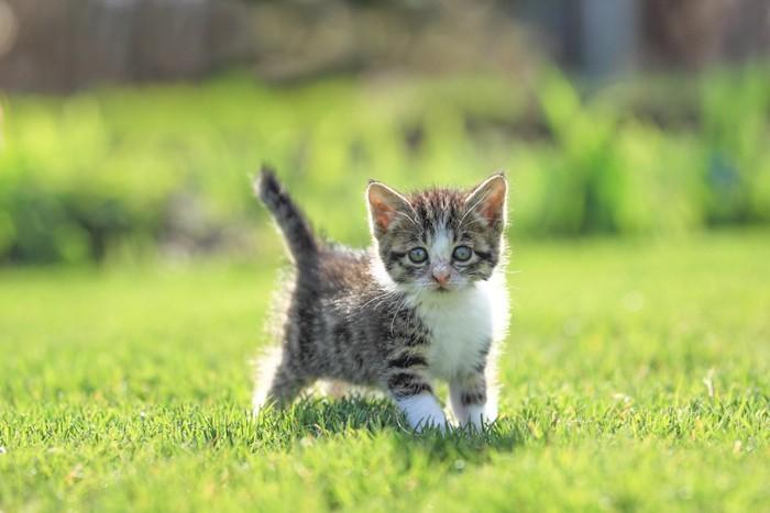 芝生で遊ぶ子猫