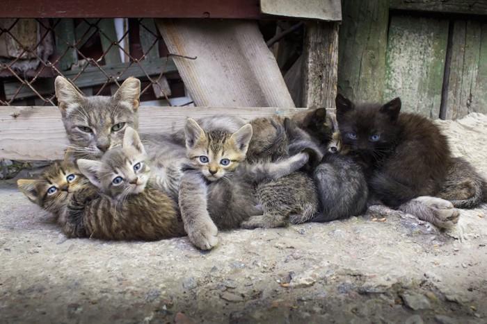 たくさんの子猫の世話をする母猫
