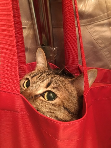 袋に入るキジトラ