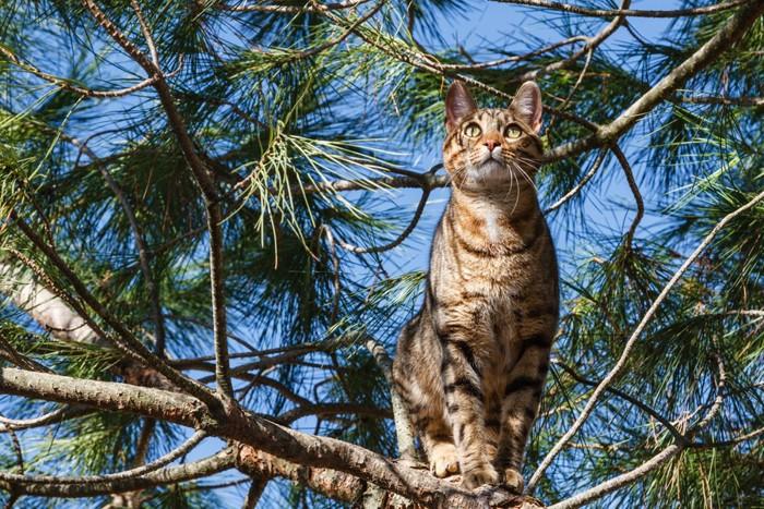 木の上にいるベンガルヤマネコ