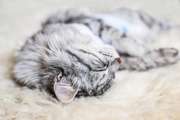 手術後に寝ている猫
