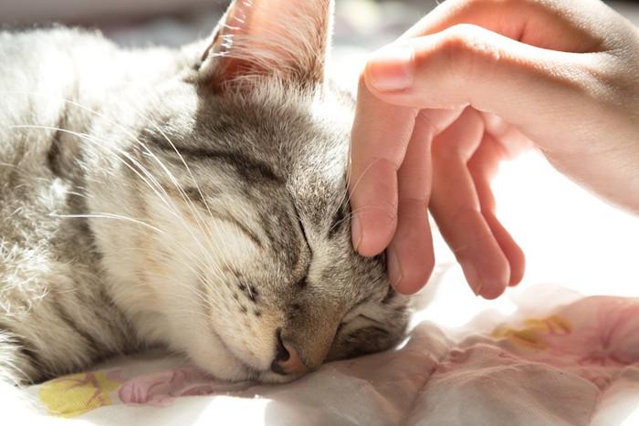 おでこを撫でられて目を閉じる猫