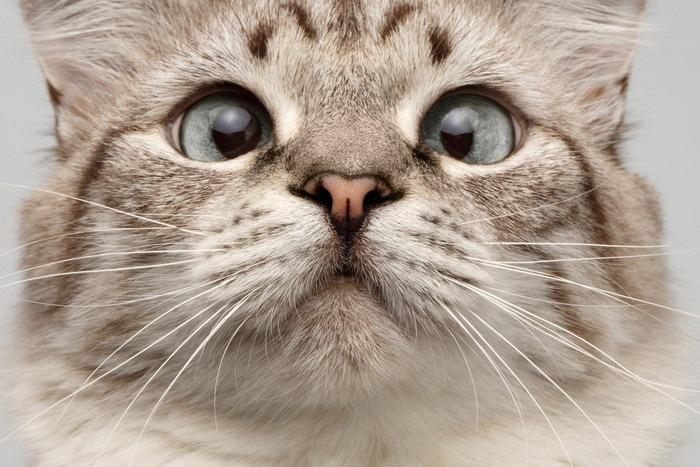 寄り目の猫の顔