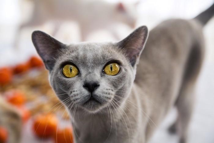 じっと見つめるグレーの猫