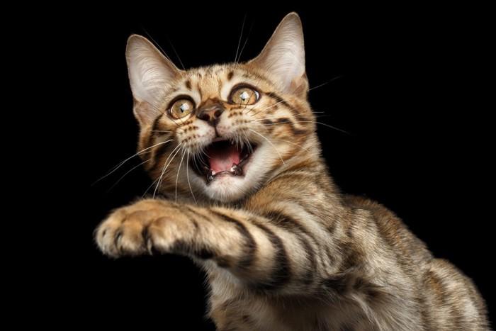 手を前に出している猫