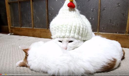 猫枕する猫の頭に鶏帽子