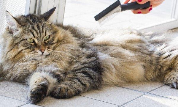 ブラッシング中のもふもふな猫