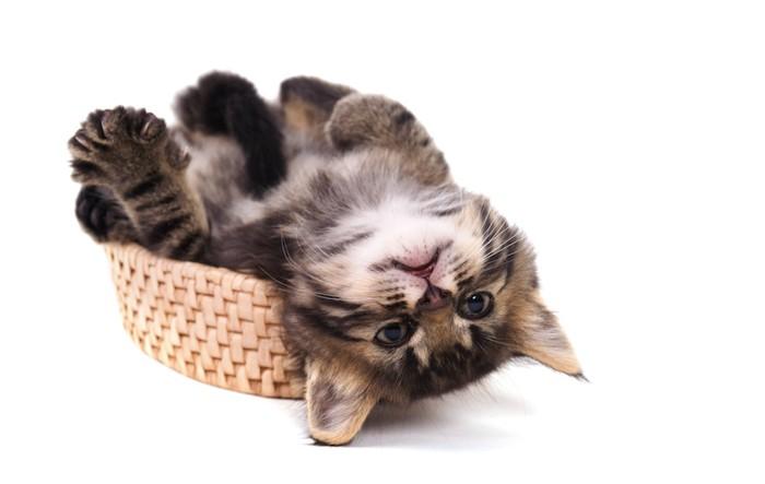 カゴの中で仰向けになる子猫