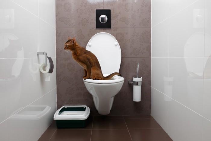 人間用トイレに座っている猫