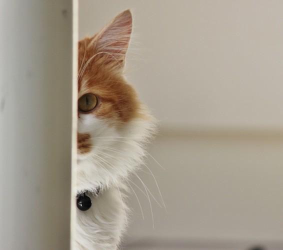 物陰から警戒して見る猫