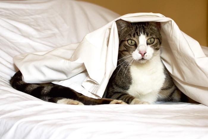 ベッドの上でシーツをかぶる猫