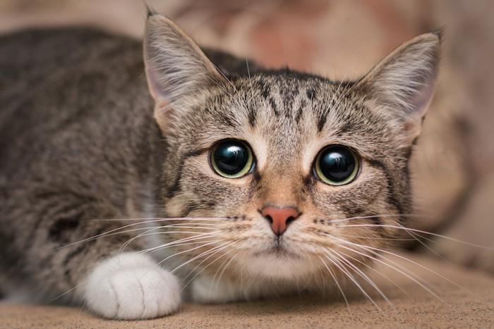 体制を低くして怯えた瞳で見つめる猫