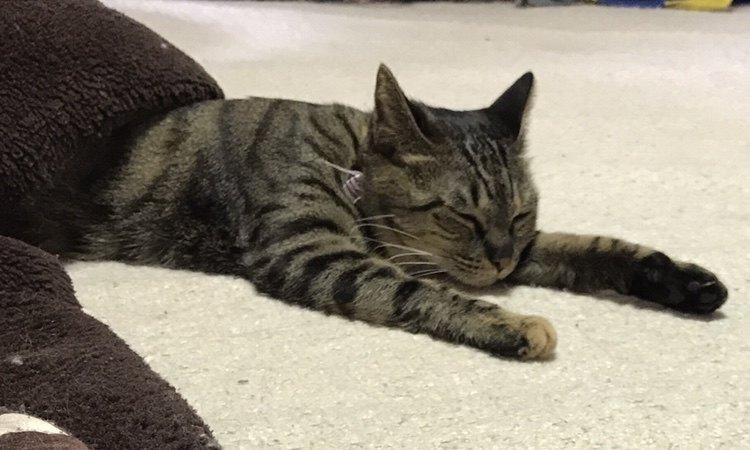 こたつでうたた寝をする猫