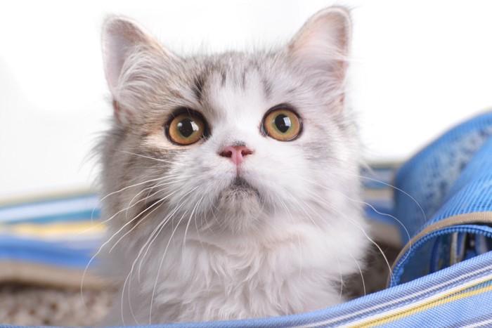 水色の鞄に入る猫