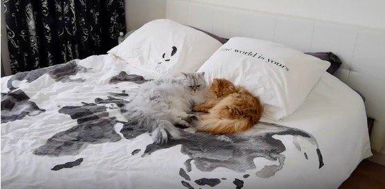 ベッドに眠る猫