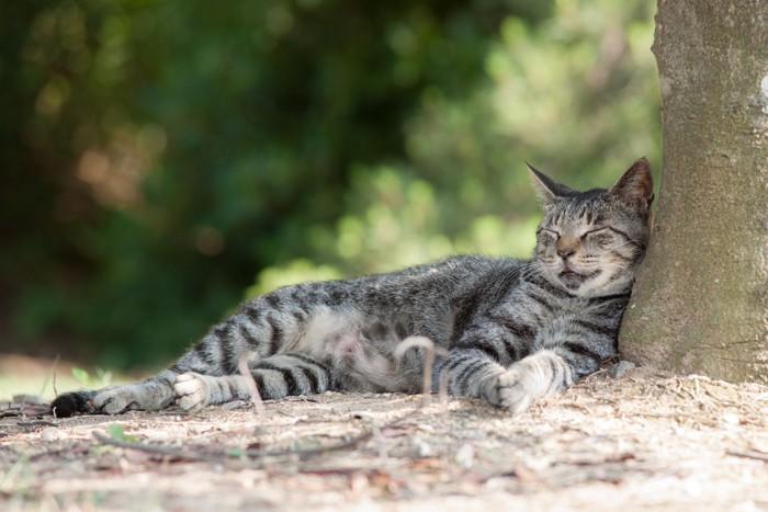 木に寄りかかって眠るサバトラ
