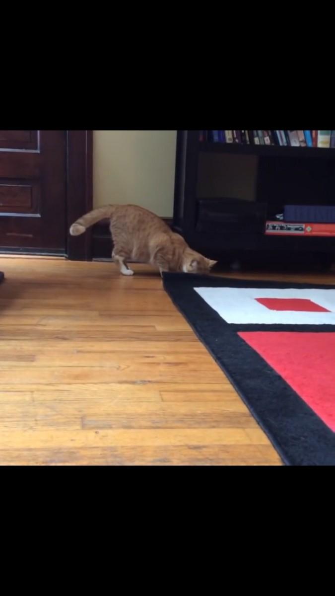 ラグのあたりを探す猫
